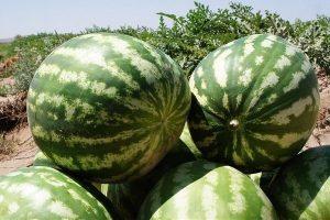 2489037 300x200 واکنش وزارت جهاد به مرجوع شدن هندوانهها از عمان