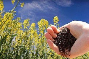 n83032979 72546387 300x200 خرید دانه روغنی کلزا در خوزستان به 38هزار تن رسید