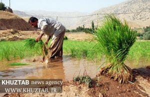 PhotoGrid 1564861647075 300x195 کشت برنج در خوزستان رکورد زد