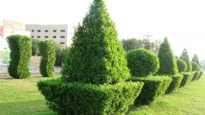 hars 10 300x169 هرس تمامی درختان کنوکارپوس اهواز تا قبل از مهرماه