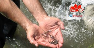IMG 20191008 234348 663 300x153 از ابتدای امسال تا کنون بیش از 22 میلیون قطعه بچه ماهی در منابع آبی استان خوزستان رهاسازی شده است .