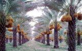 PicsArt 09 16 12.00.16 160x100 خرید تضمینی خرما از نخلداران خوزستان شروع شد