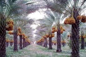 PicsArt 09 16 12.00.16 خرید تضمینی خرما از نخلداران خوزستان شروع شد